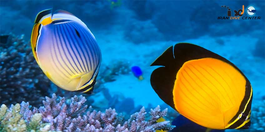 Arabian Butterfly Fish
