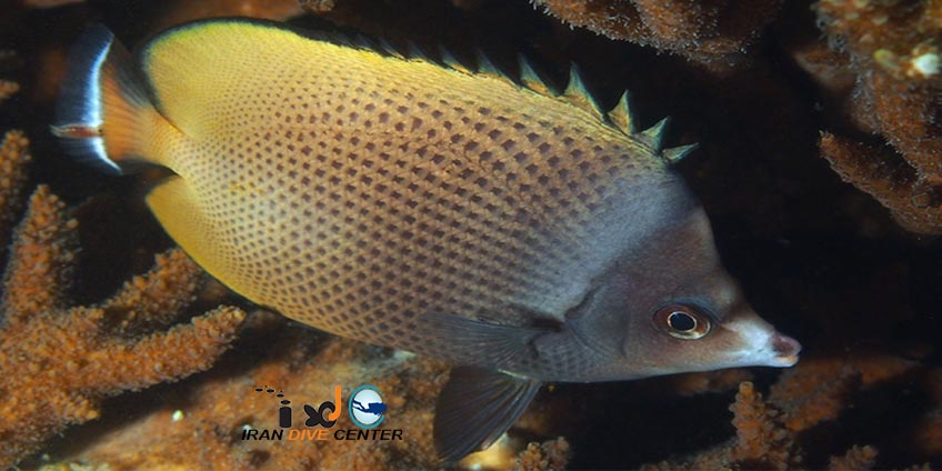 Black-spotted Butterfly Fish